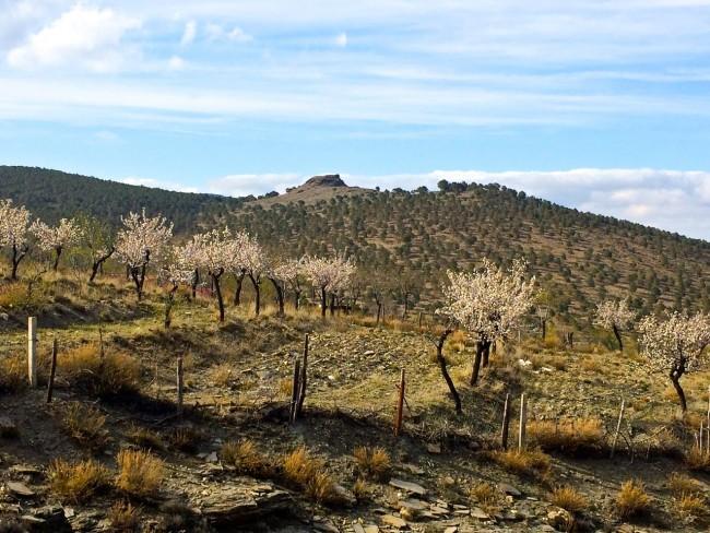 Mandelbäume Sierra Nevada