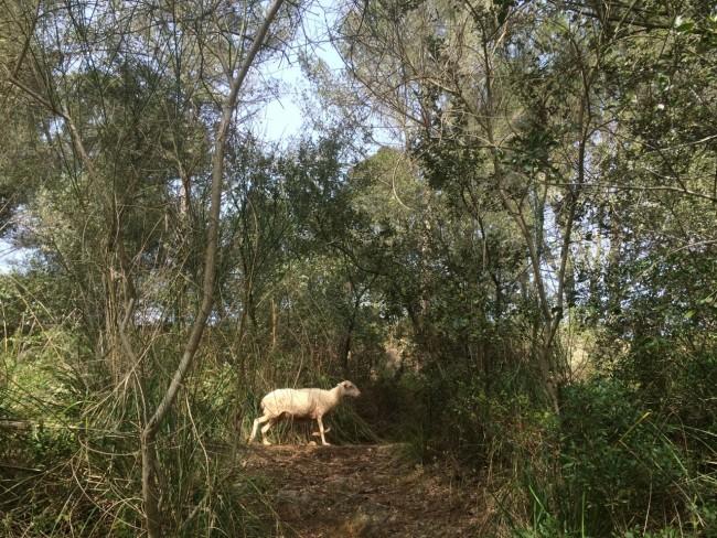Schaf Mallorca Valldemossa