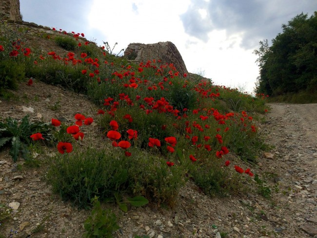 Priszren_Poppies1