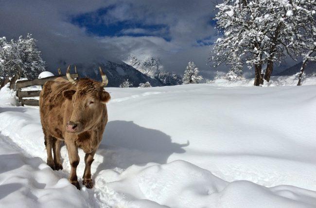 Kuh während dem Winterhike nach Mazeri in Swanetien, Georgien